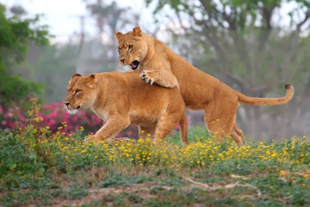 Two female lions chasing each other in the grass  Stock fotó
