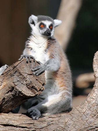 Ringtailed lemur  Lemur catta  photo