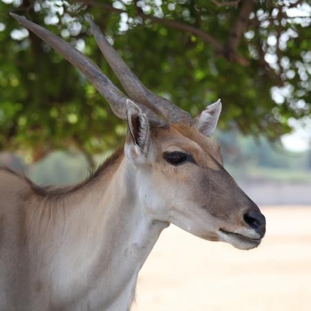 An Eland  Taurotragus Oryx or Derbianus , an african large antelope  photo