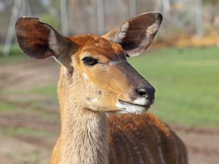 portrait of antelope Kudu  Stock Photo - 19450457