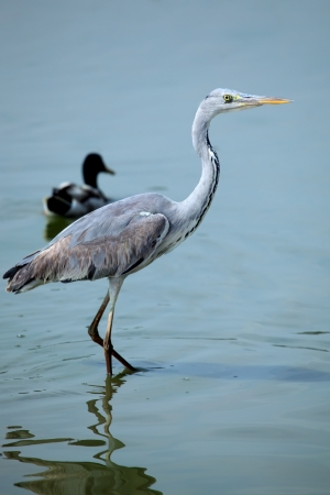 A Great Blue Heron (Ardea herodias) standing in pond photo