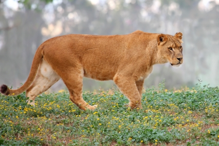 A lioness looking for food  photo
