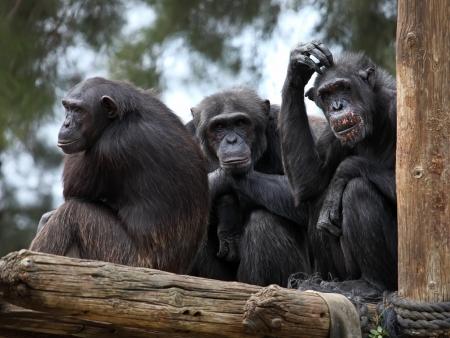 chimpanzee family in zoo  Stock Photo
