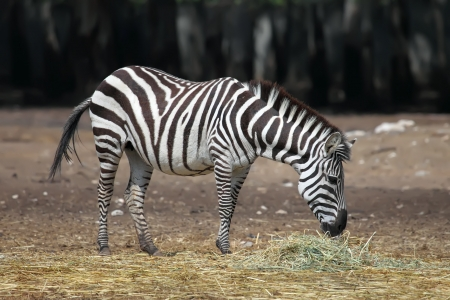 Zebra busy eating green grass  photo