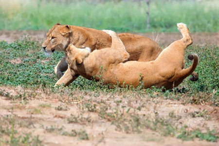 Two female lions chasing each other in the grass  photo