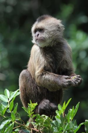 capuchin monkey on tree branch