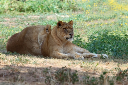 nature reserves of israel: Close Up picture of lioness resting in the grass