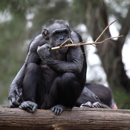 hominid: Portrait of a adult chimpanzee in Zoo