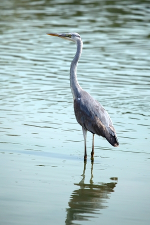 A Great Blue Heron  Ardea herodias  standing in pond  photo