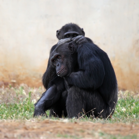simia troglodytes: Portrait of two Chimpanzees grooming each other