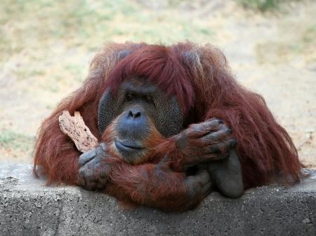 Orangutan in a zoo,looking in the distance  photo