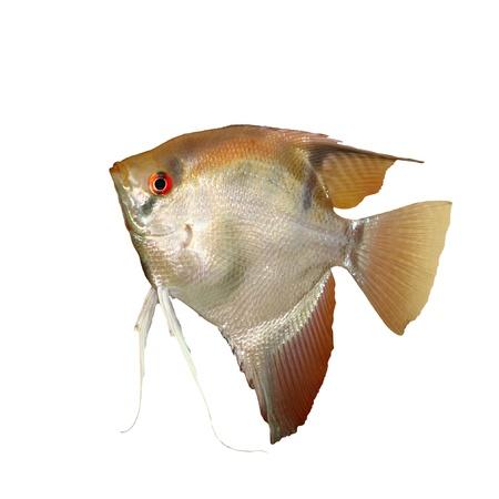 pterophyllum scalare: Angelfish  Pterophyllum scalare   isolated on white background  Stock Photo