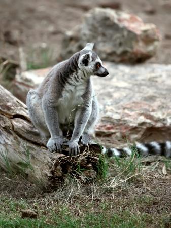 catta: Ringtailed lemur (Lemur catta)