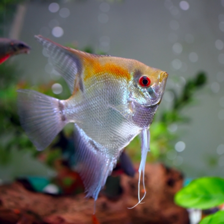 scalare: Angelfish (Pterophyllum scalare)