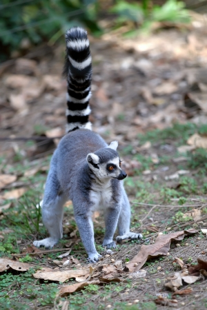 Lemur of ring-shaped tail taking up a curious pose  photo