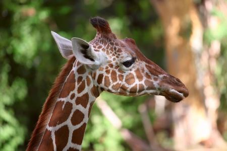 nature reserves of israel: Close up shot of giraffe head
