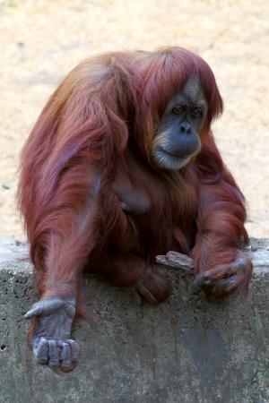 Orangutan female asking for something photo