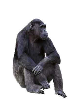Chimpanzee on a white background Stock Photo - 24643828