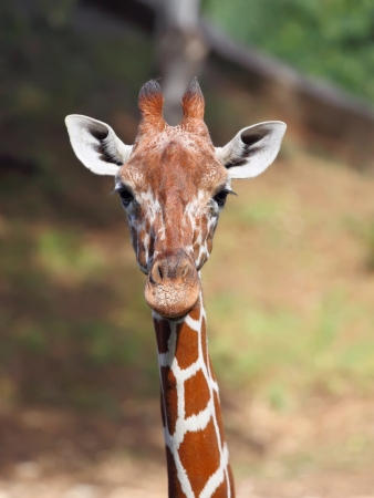 nature reserves of israel: Close up shot of giraffe head