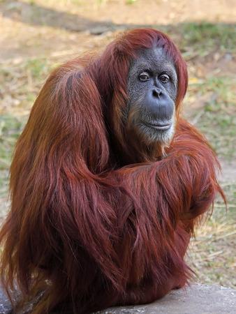 female nipple: Orangutan in uno zoo