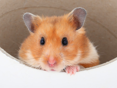 a Hamster picks out of a tube Stock Photo
