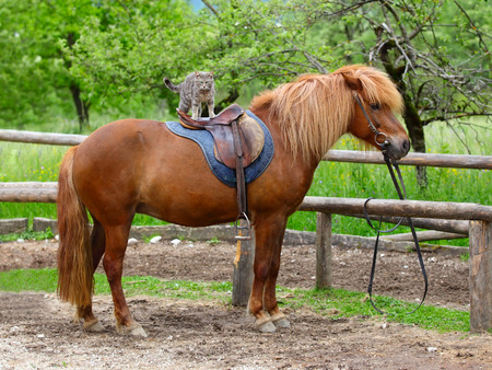 black horse: caballo con un gato de pelo largo y sentado en la espalda Foto de archivo