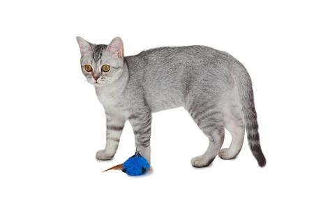 scottish straight: Cute Scottish Straight kitten