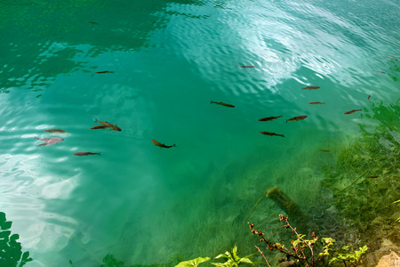Small fish in the lake of Plitvice Lakes national park, Croatia photo