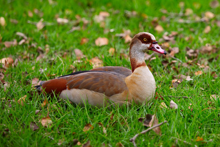 Egyptian Goose on the green grass photo