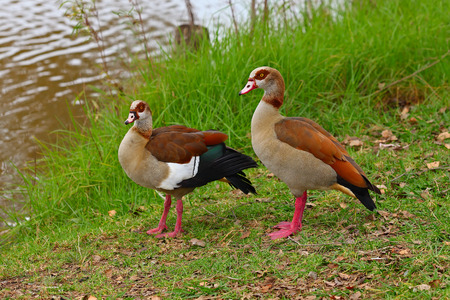 Egyptian Gooses on the green grass Stock Photo