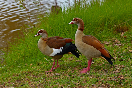 Egyptian Gooses on the green grass photo