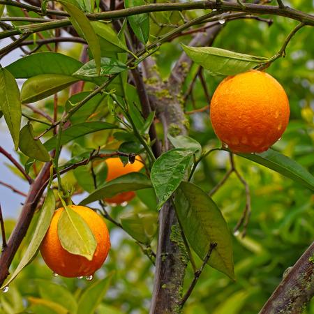 Ripe Oranges Hanging on a Fruit Tree Branch. Water drops on Orange Stock Photo