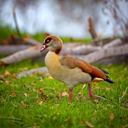 duck feet: Egyptian Goose on the green grass