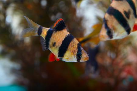barbus: Aquarium fish - barbus Sumatra  (Barbus pentazona) Stock Photo