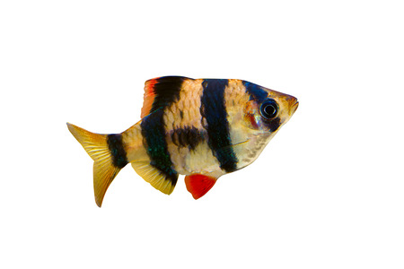 tetrazona: Aquarium fish - barbus puntius tetrazona isolated on white