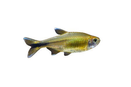 tetra fish: Silver Tipped Tetra (Hasemania nana) fish in front of a white background