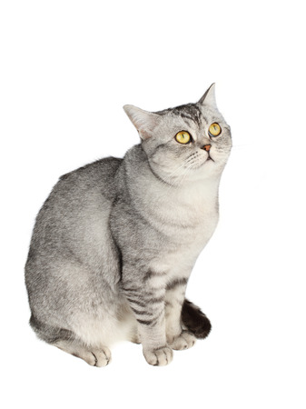 scottish straight: Scottish straight shorthair cat isolated on white background