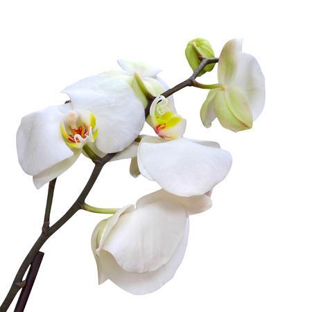 orchid: white orchids flower isolated on white background Stock Photo