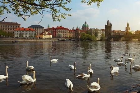 The Vltava river, The Vltava river, Charles bridge and white swans in Prague, Czech Republic in Prague, Czech Republic