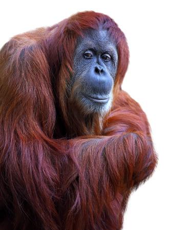 orangutang: Orangutan on white background Stock Photo