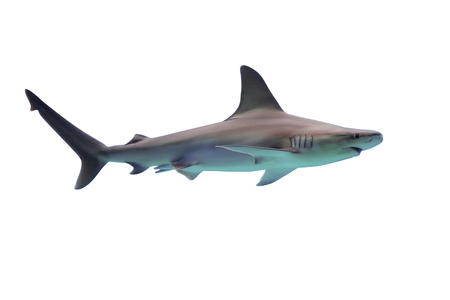 Shark isolated on white background Banco de Imagens - 64323948