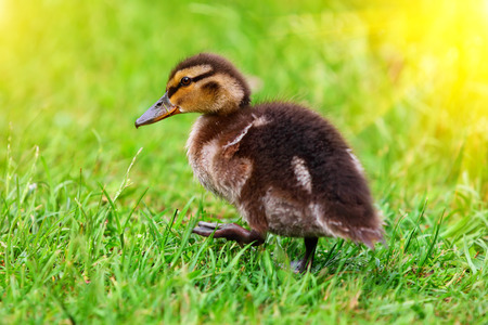 A Cute duckling resting in the grass after taking a swim