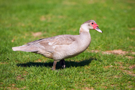 barbary: Chocolate muscovy duck, cairina moschata standing on the green grass Stock Photo