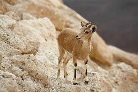 grazer: close up of wild young nubian ibex Stock Photo