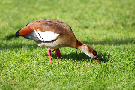 Egyptian goose busy feeding in the green grass. Stock Photo