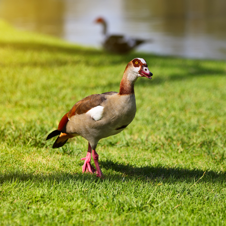 Wild Egyptian Goose standing in green grass Stock Photo