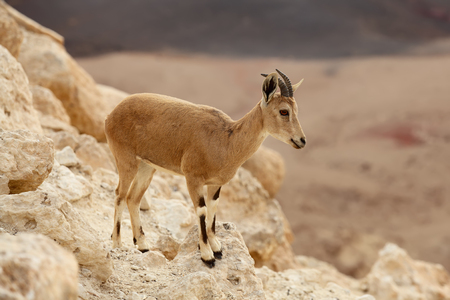 close up of wild young nubian ibex Stock Photo