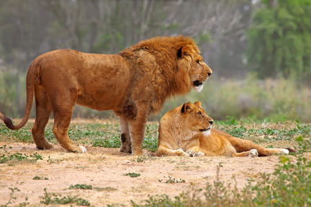 pair of lion and lioness who are just made for each other Stock Photo