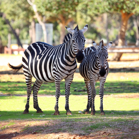 two zebras standing in the early morning sun