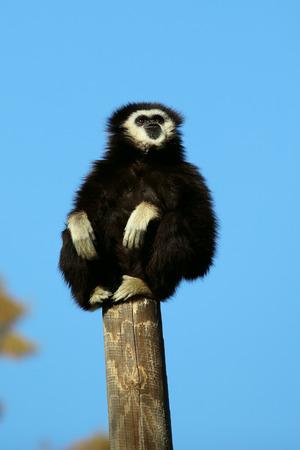 white handed gibbon on a tree limb